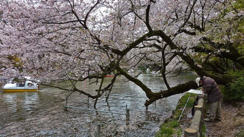 Kichijoji's Inokashira Park sakura artist