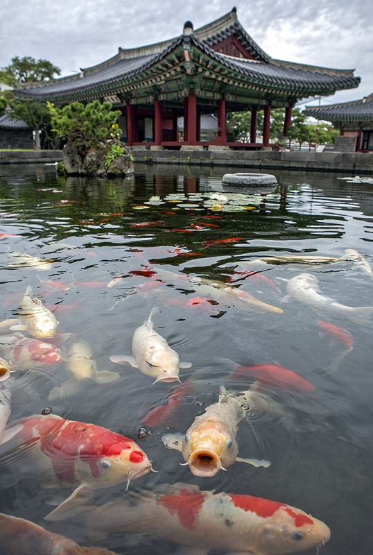 Jejumok-Gwana 제주목관아 carp pond 잉어 koi korea south fish republic