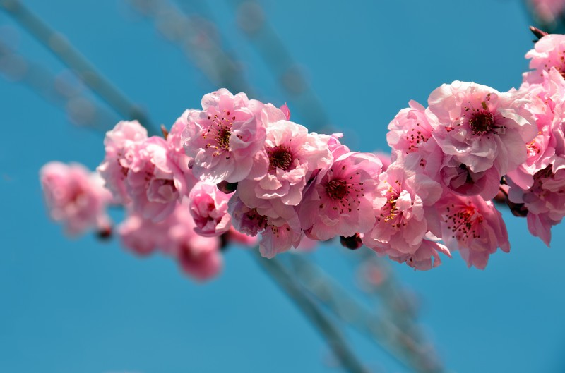 pink sakura cherry blossoms