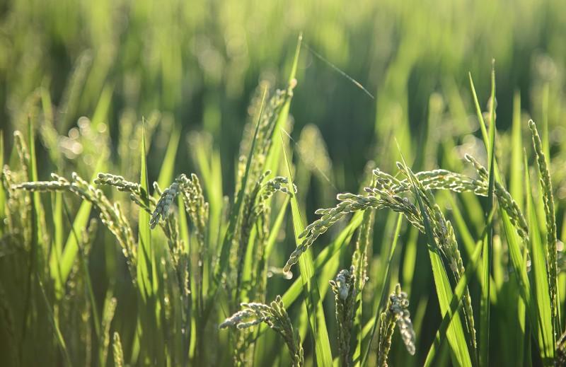 gwangju rice paddy