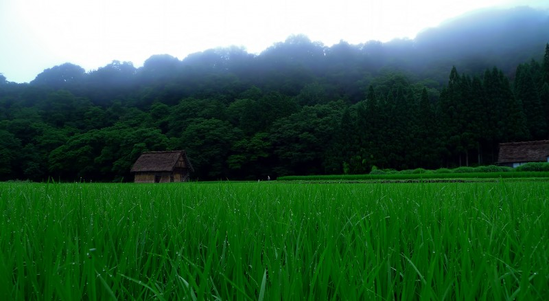 shirakawago dewy rice paddies