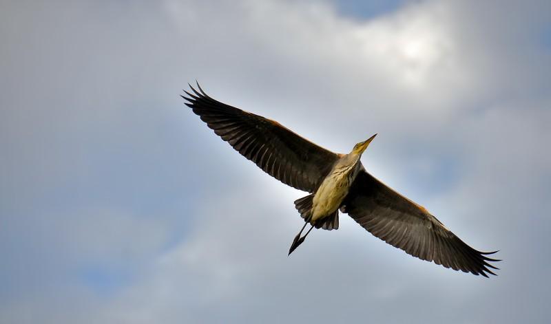 copenhagen crane denmark bird species birding