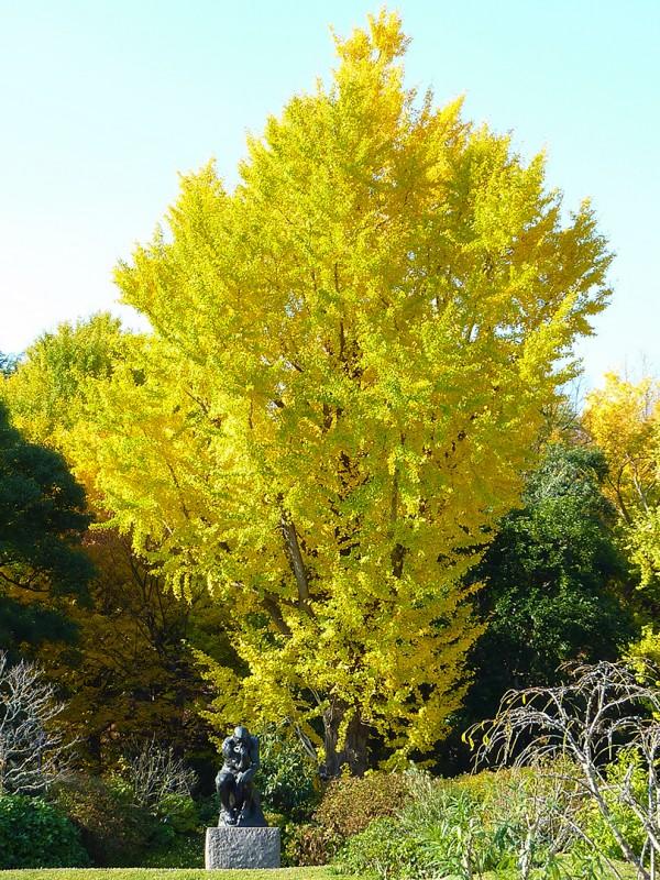 kojiro matsukata ueno autumn foliage tokyo japan ginko tree fall