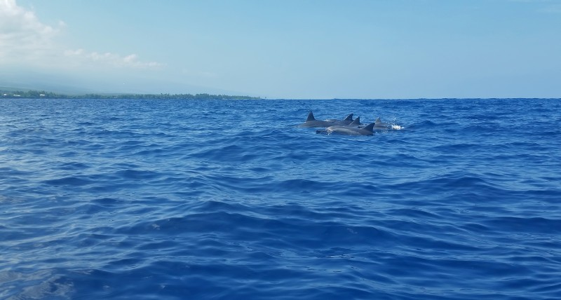 Kealakekua Bay Cook dolphins surfacing pacific