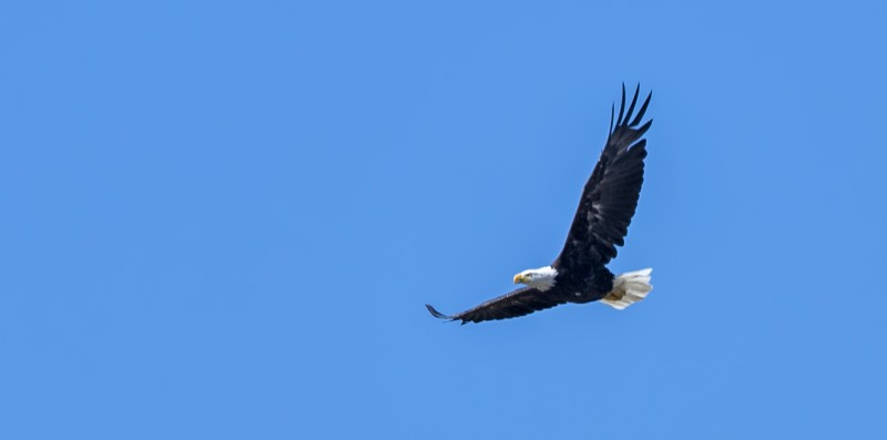 beatty rooney ranch bald eagle flying male