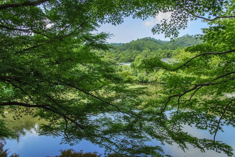 ryoanji kyoyochi pond 鏡容池 maples