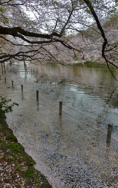 inokashira cherry blossoms kichijoji
