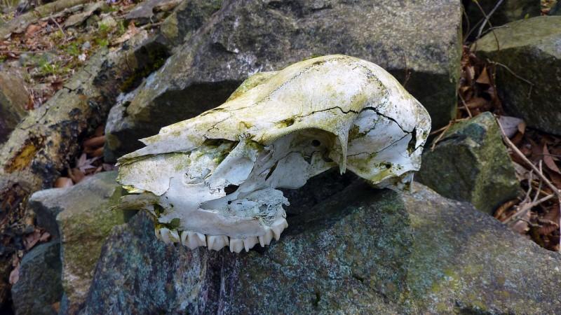tanzawa skull