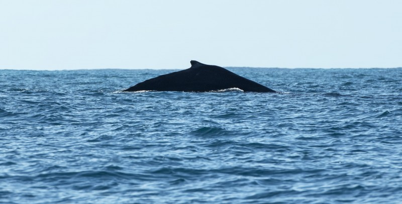 sayulita whale watching entourage tours humpback