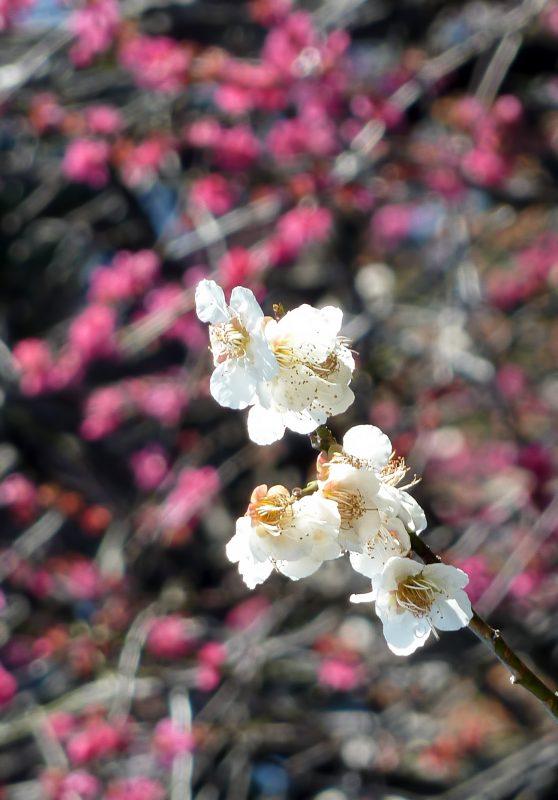 ikegami plum blossoms