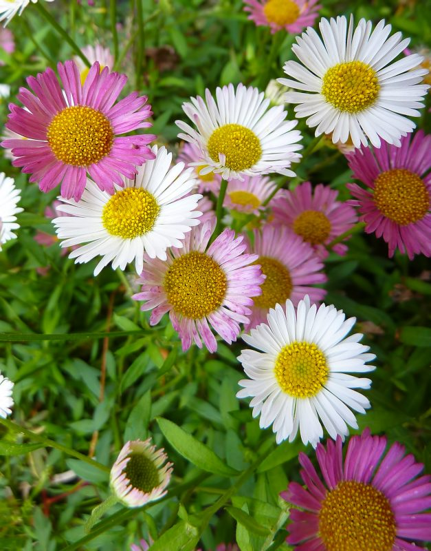 daisies-gerbera-daisy-flowers-jogashima
