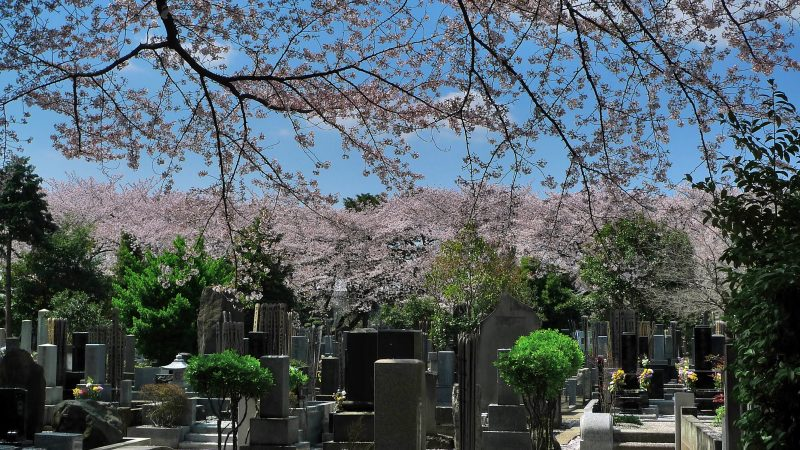 yanaka-sakura-cemetery tokyo spring