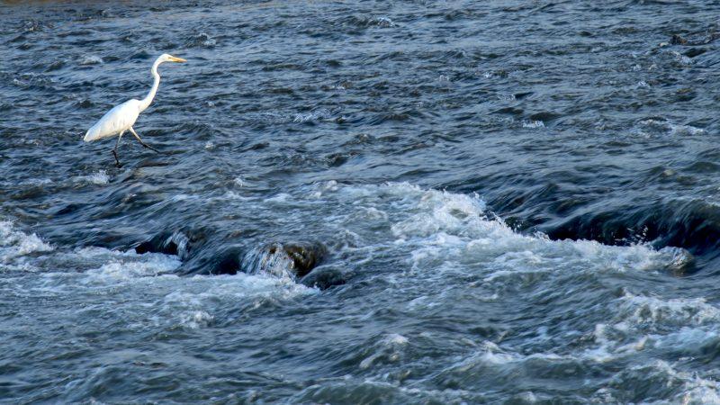 tsuru-crane-kyoto-%e9%b6%b4-katsura-river