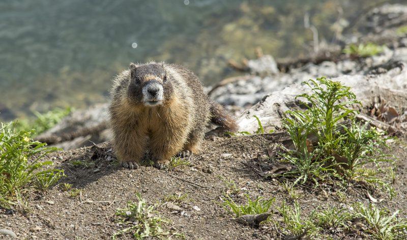 yellow bellied marmot spokane river