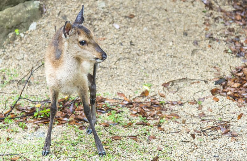 miyajima shika deer 鹿