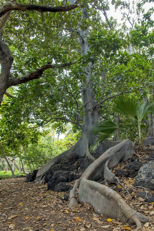 hawaii tree roots