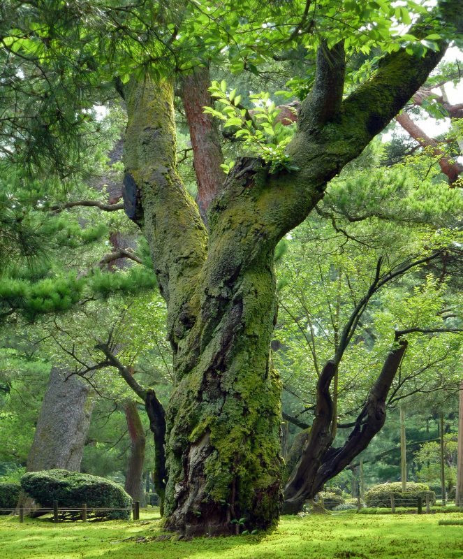 Kenrokuen Kanazawa japan green ancient tree