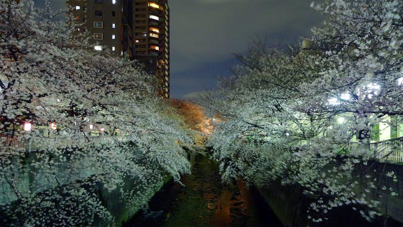 sakura night kanda river