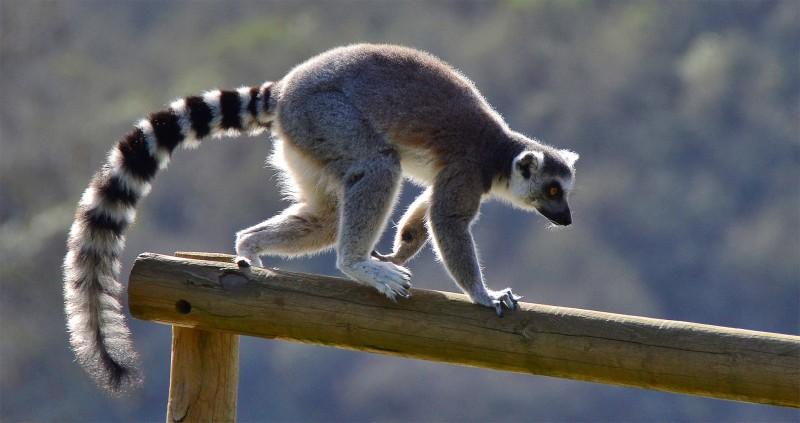 winston lemur