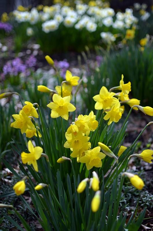 ashland oregon flower daffodils