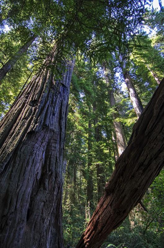 jedediah smith stout grove california redwoods