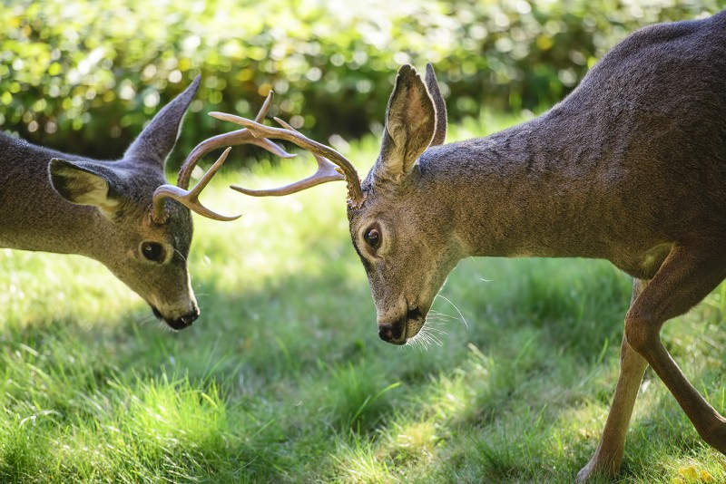 male deer rack fight battle territory
