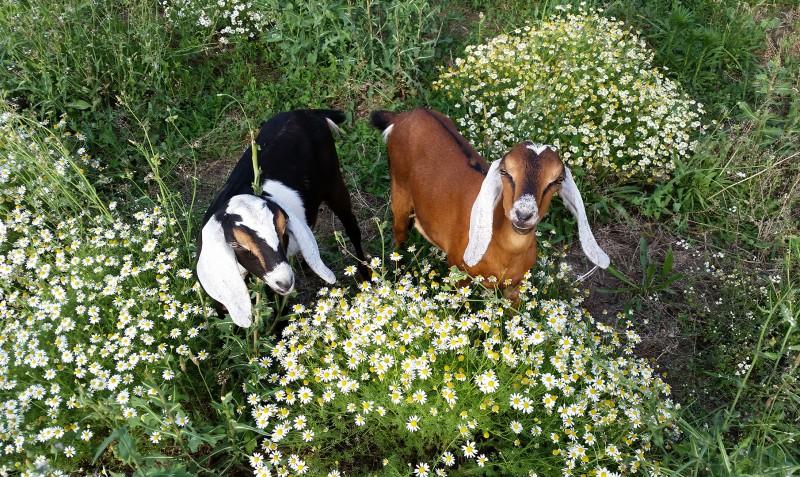 jaffes' goats Anglo-Nubian lucky girl farm talent oregon