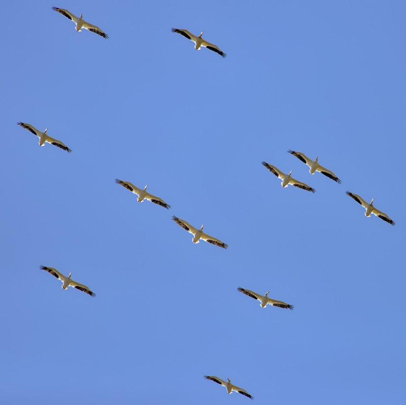 beatty ranch pelicans flock