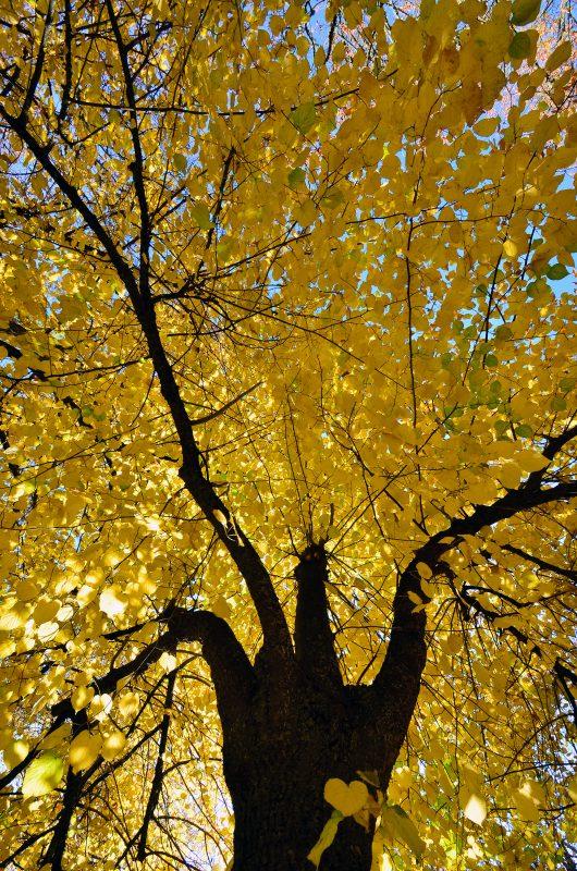 fall foliage heart tree yellow leaves autumn