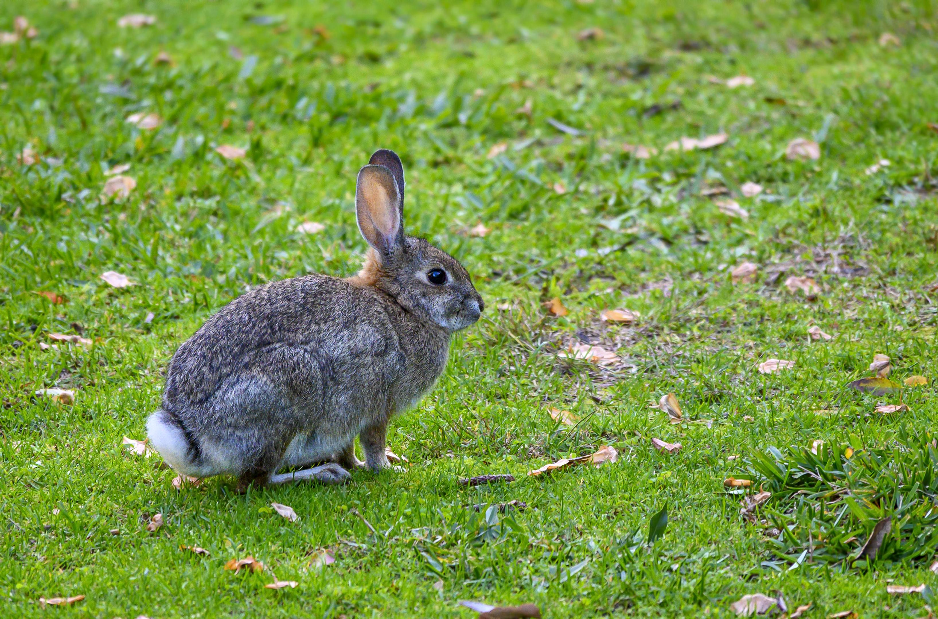 laguna beach bunny