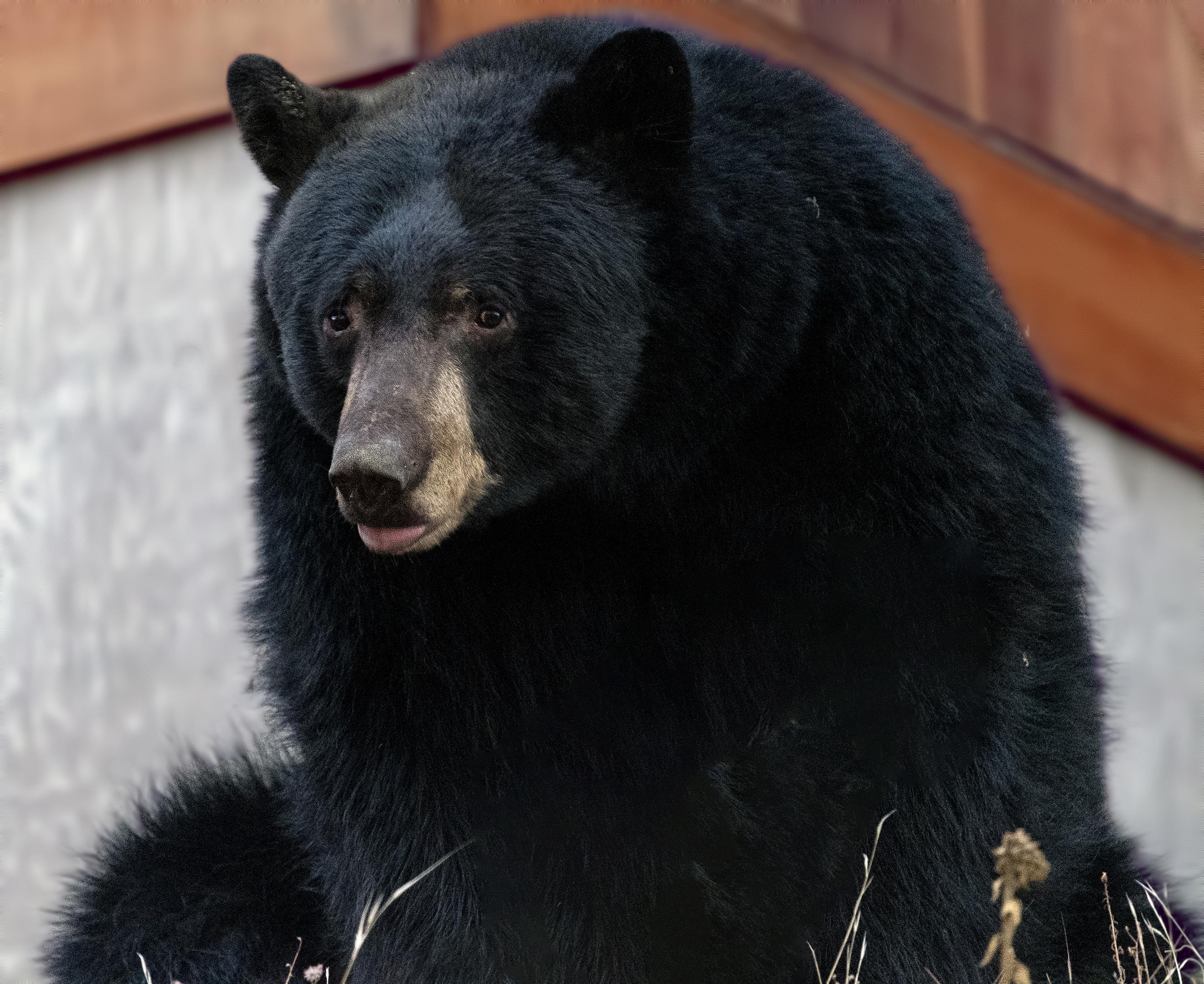 bear ashland oregon