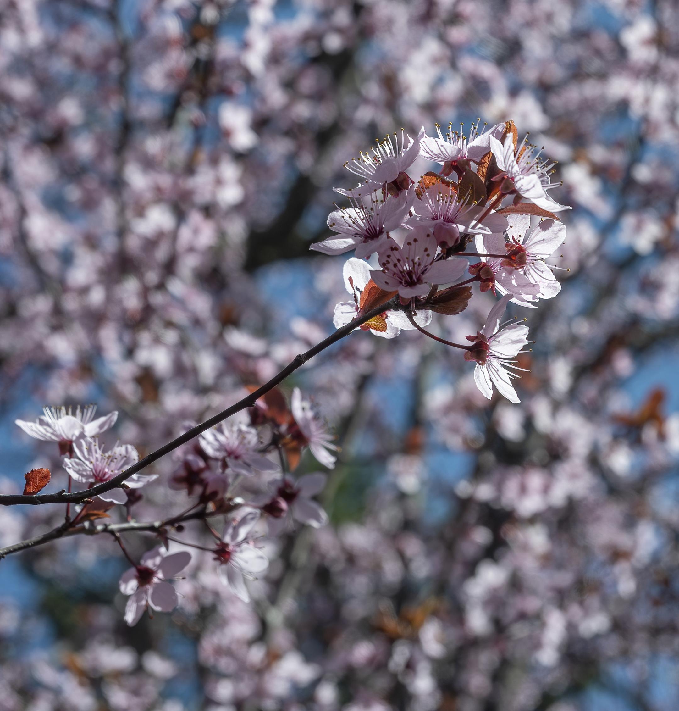 april blossoms topaz denoise ai-denoise