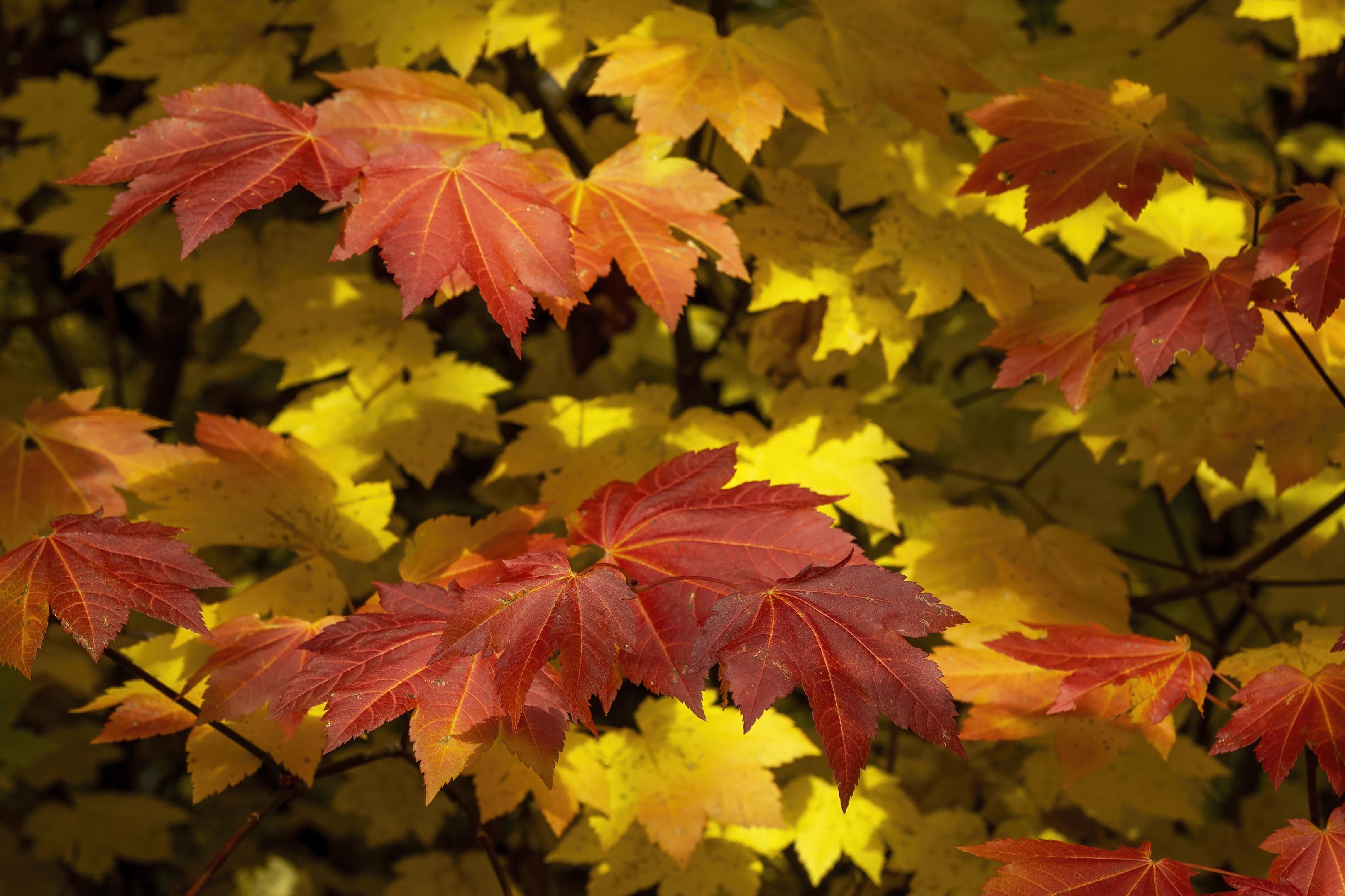 fall maple leaves upper rogue river trail autumn colors topaz denoise ai-standard