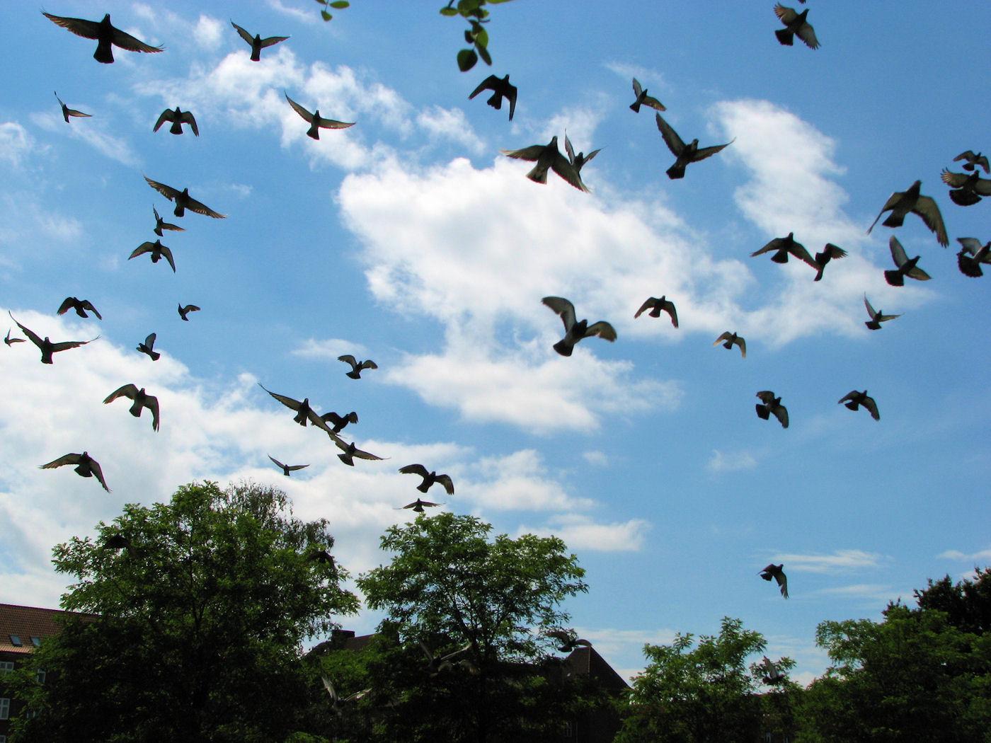 Copenhagen pigeons