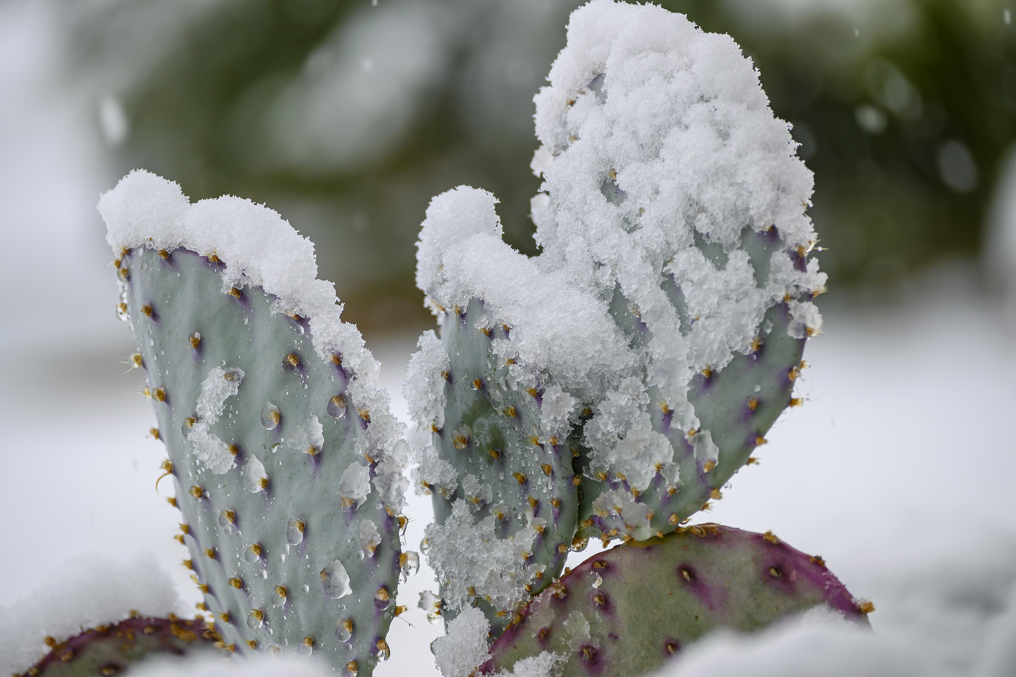 joshua tree cactus snow