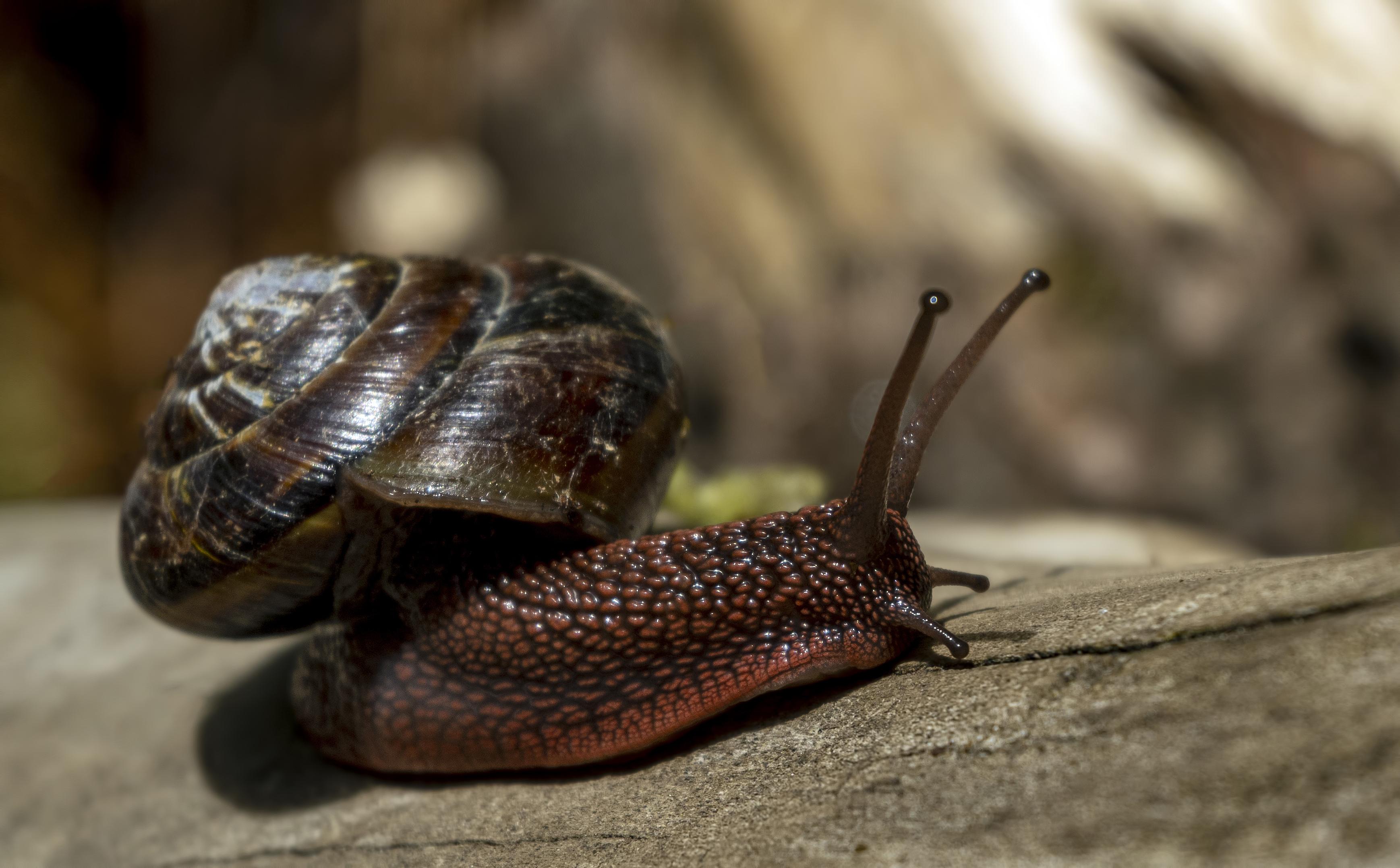 shelled gastropod sweet creek snail
